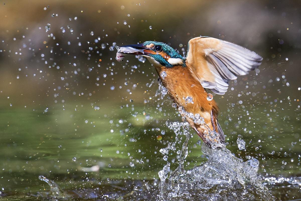 Kingfisher in fishing .......