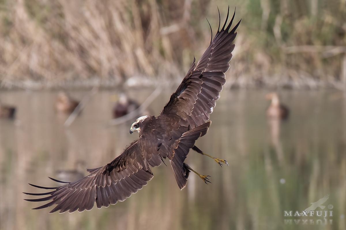 Marsh Harrier...