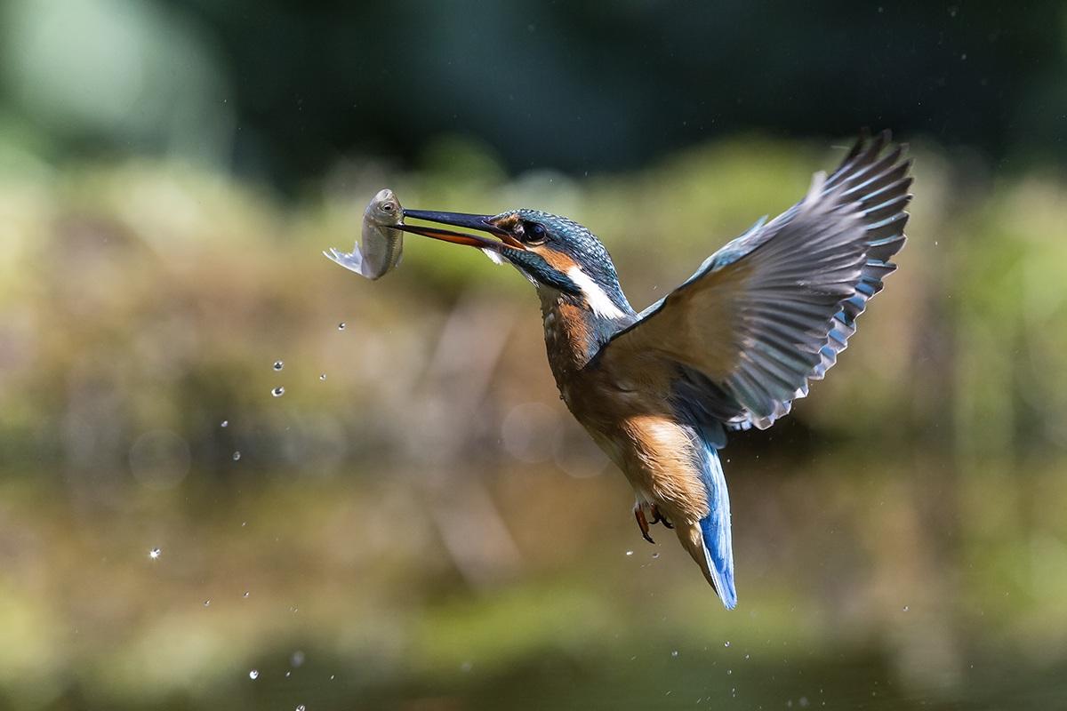 Kingfisher flight...