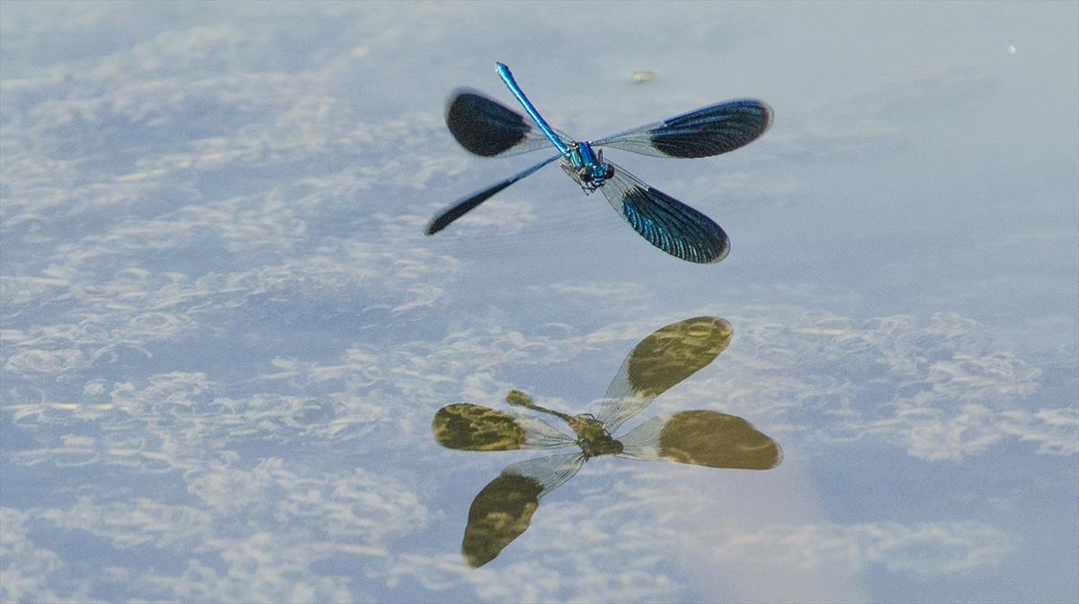 Il volo della Damigella...