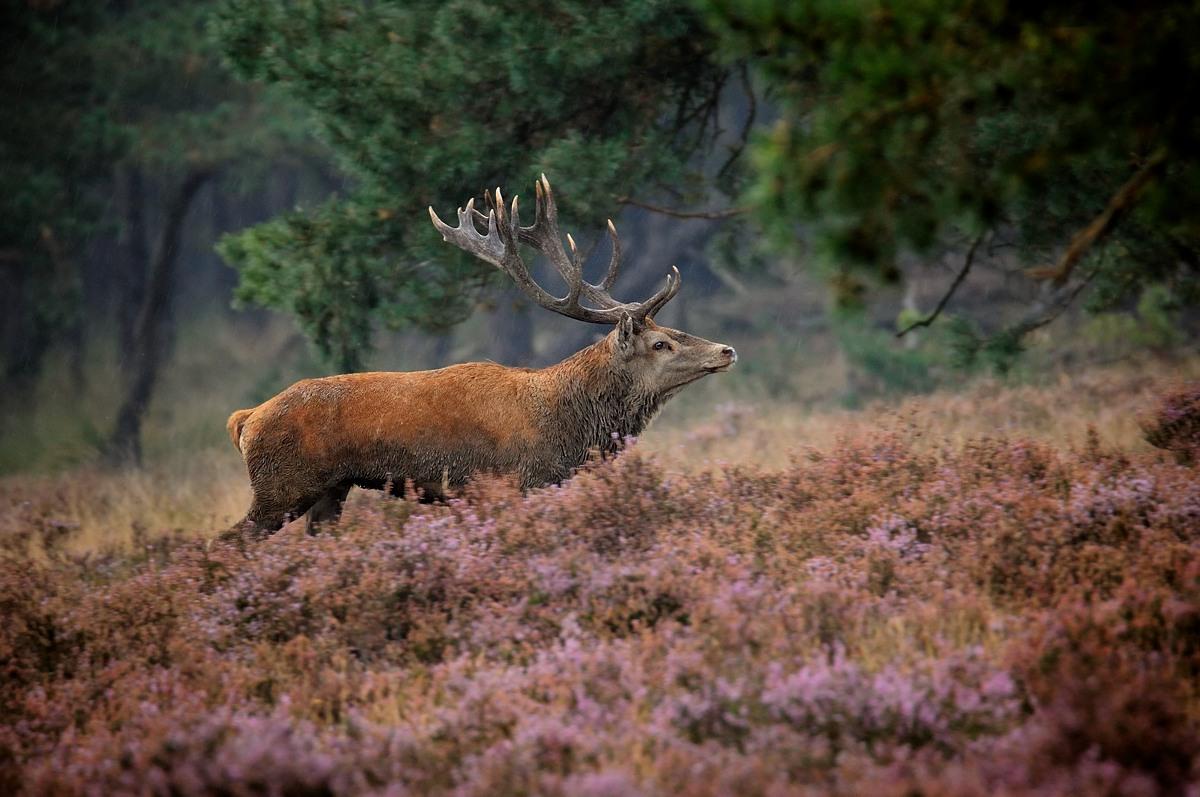 Red deer...