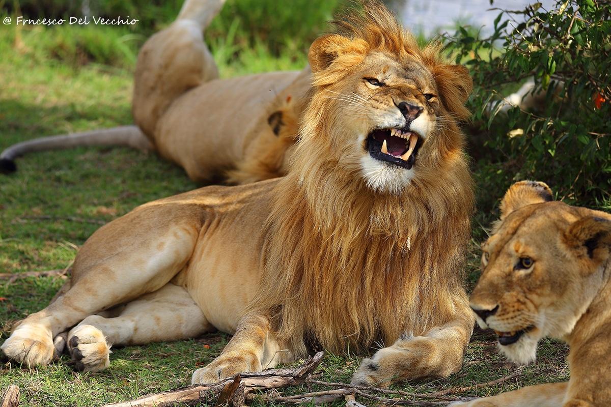 #Safari Leoni in the territory between Matira and Rekero...