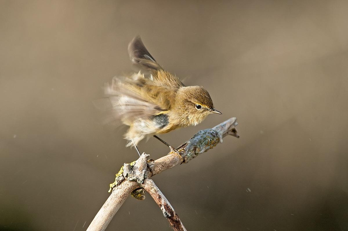 wood warbler...