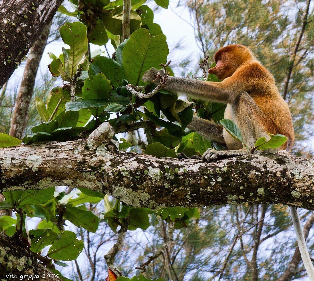 The proboscis monkey Reserve Bako (Sarawak Borneo)...