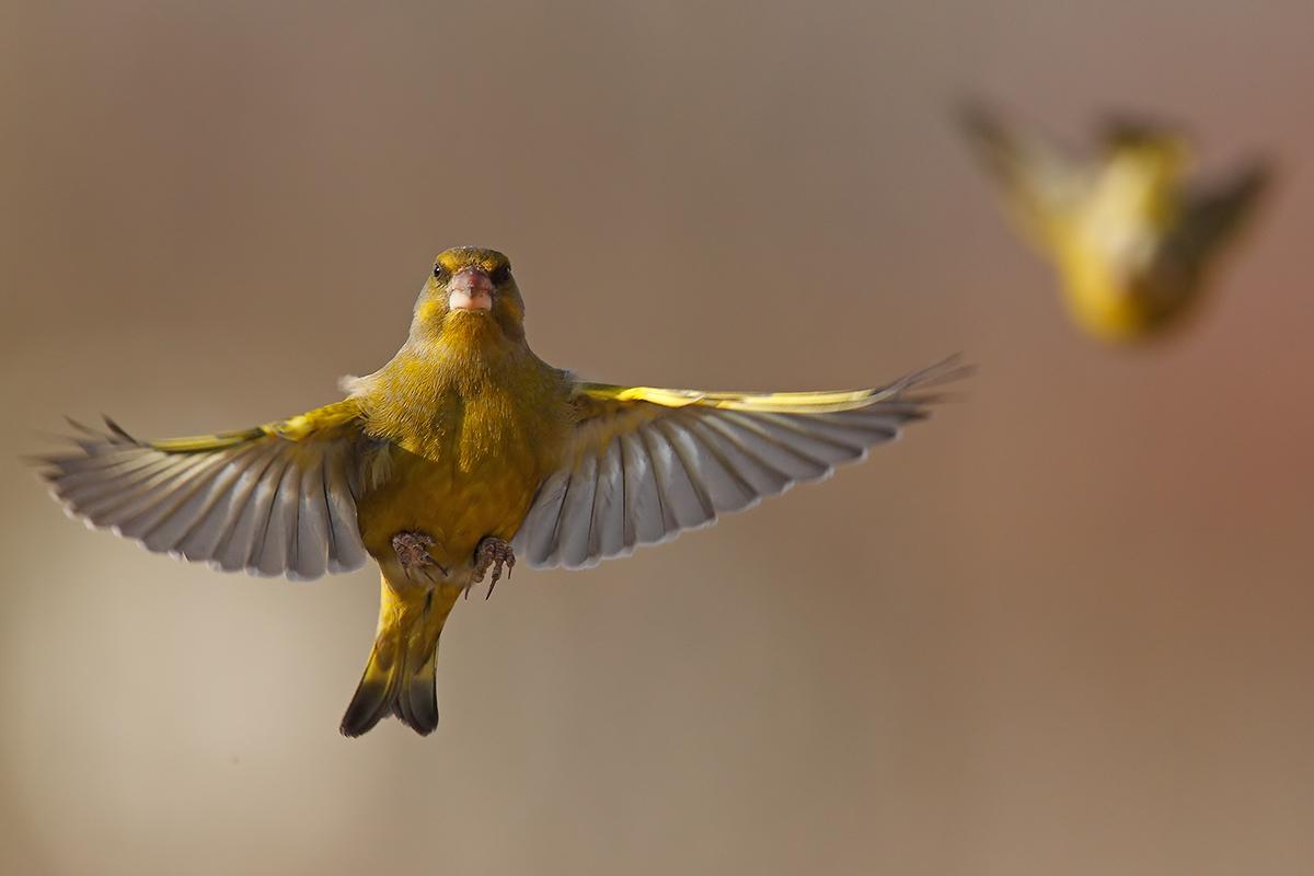Chloris chloris - in flight -...