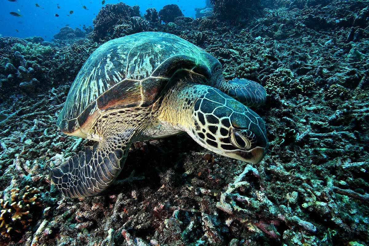 Tartaruga verde chelonia mydas juzaphoto - Pagine di colorazione tartaruga ...