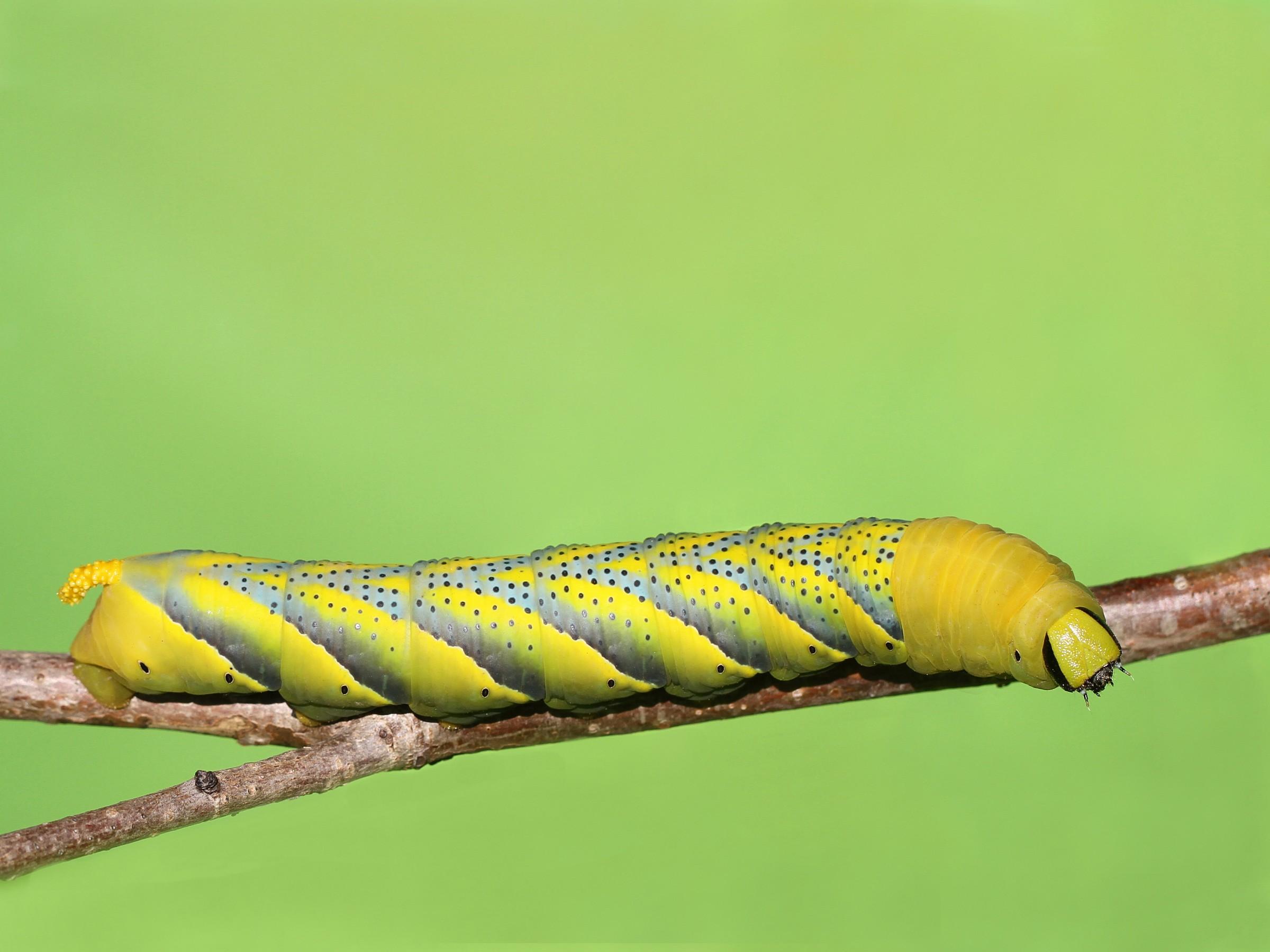 caterpillar of the sphinx head dead...