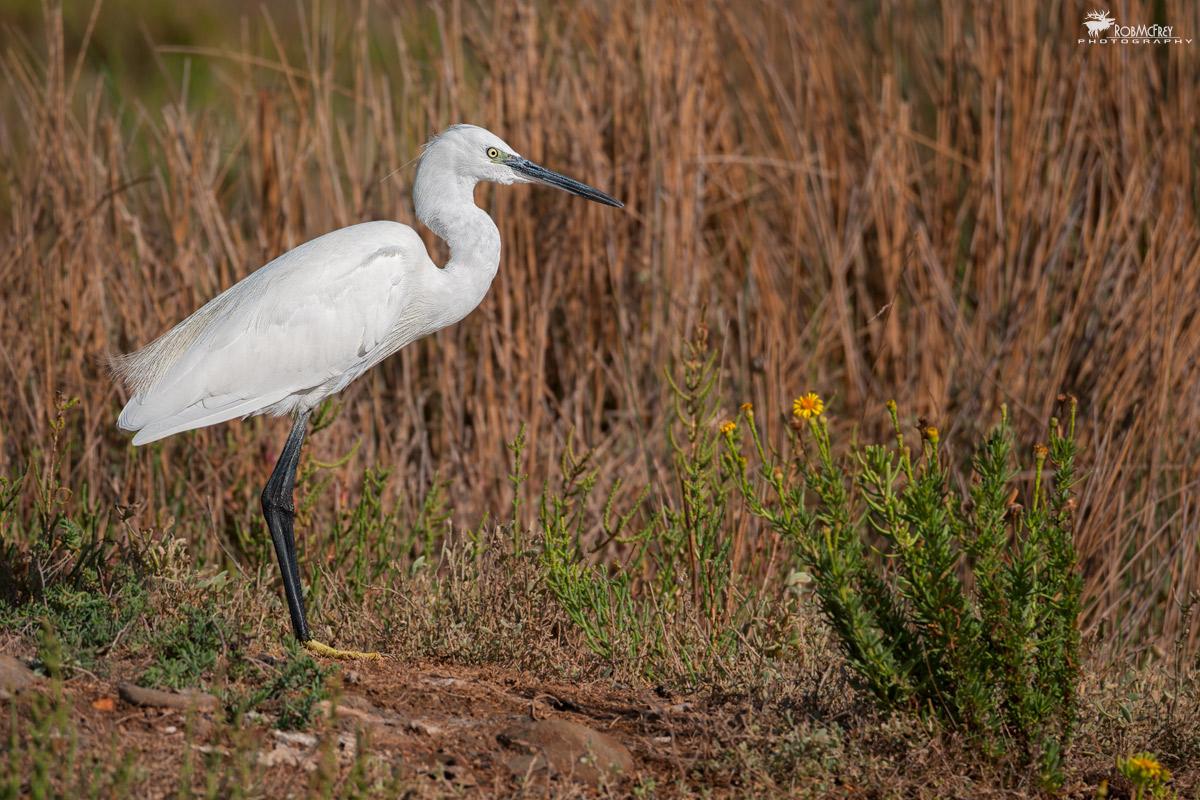 Egret on shore...