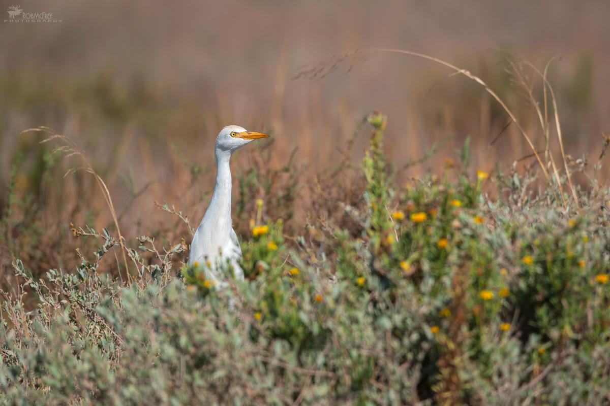 Egrets wary...