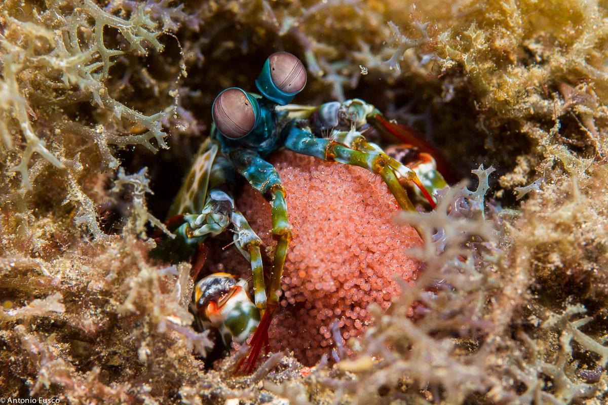 Mantis Shrimp with eggs...