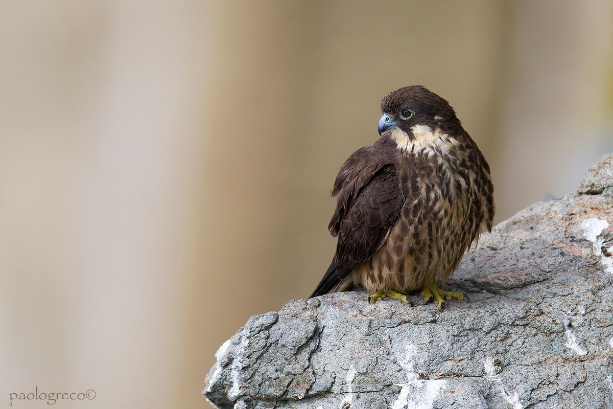 Eleonora's falcon...