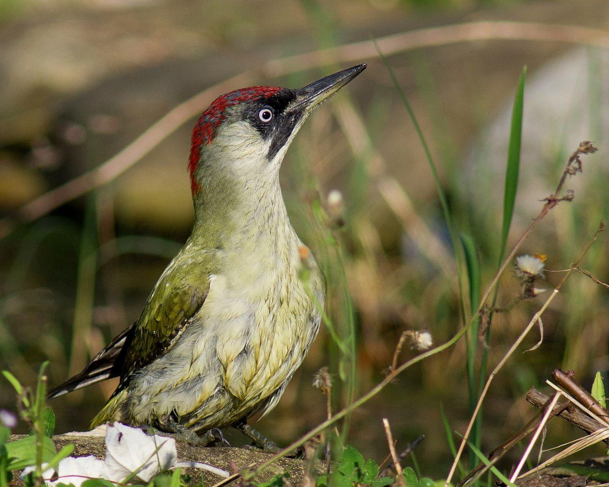 Female Green Woodpecker...