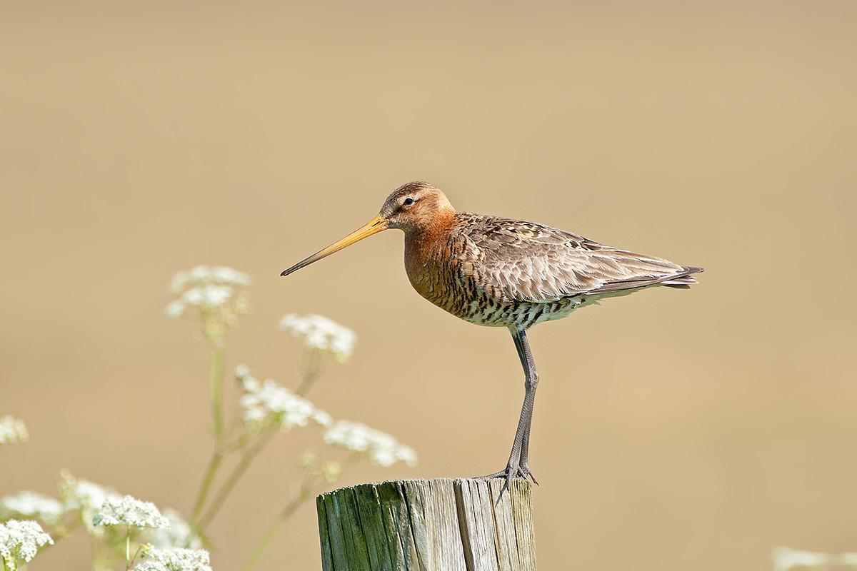 Black-tailed Godwit...