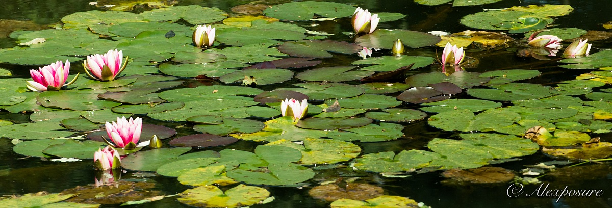 The water lilies...