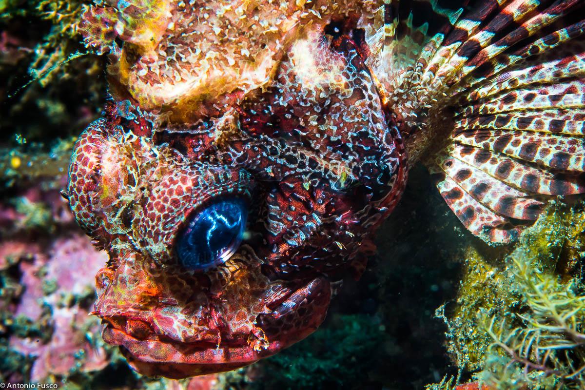Red Scorpionfish...