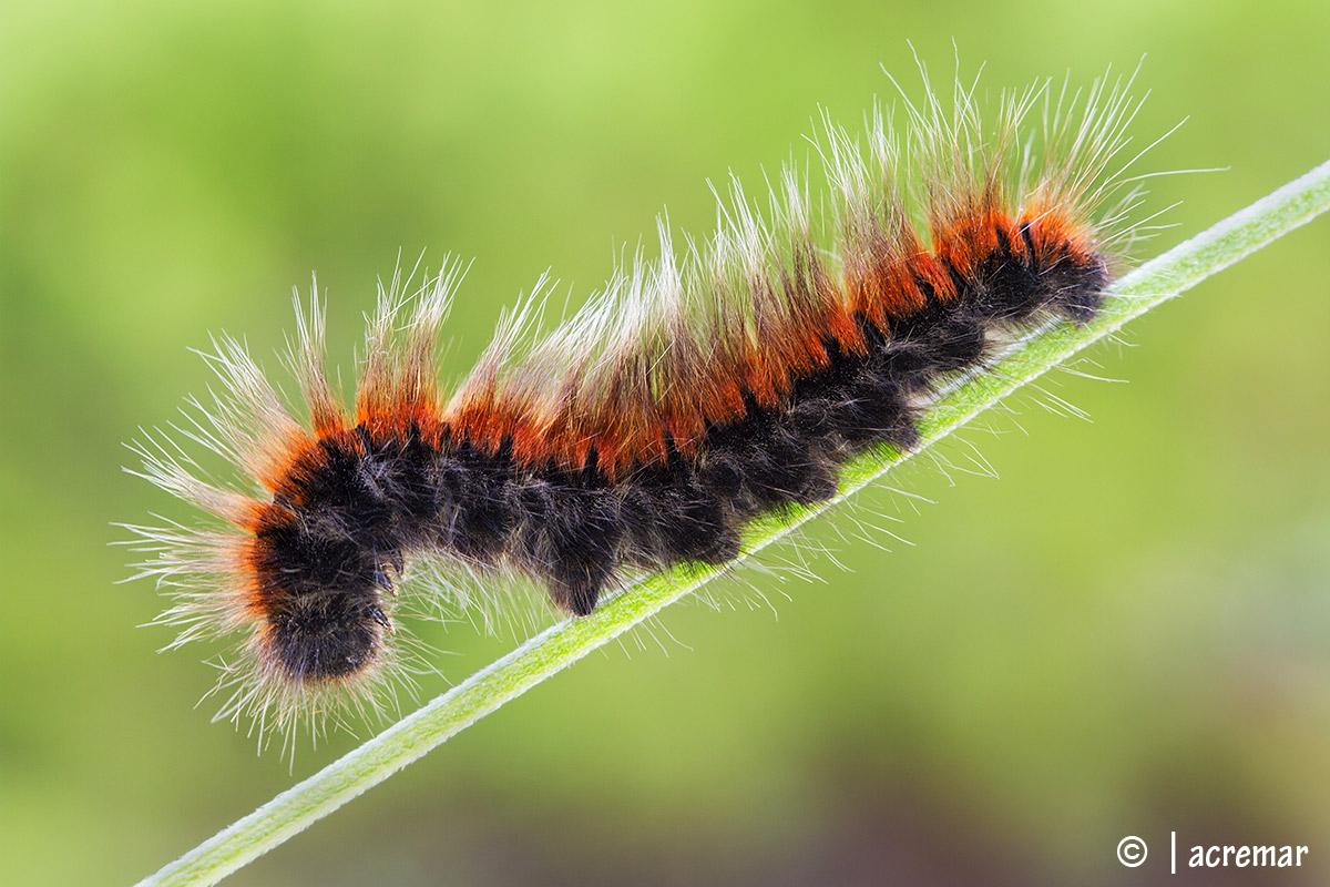 Macrothylacia steal #Lasiocampidae...