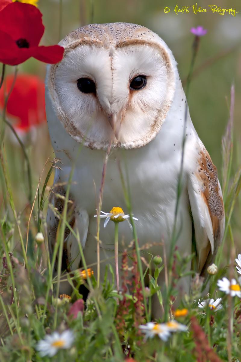 Barn Owl (Tyto alba)...