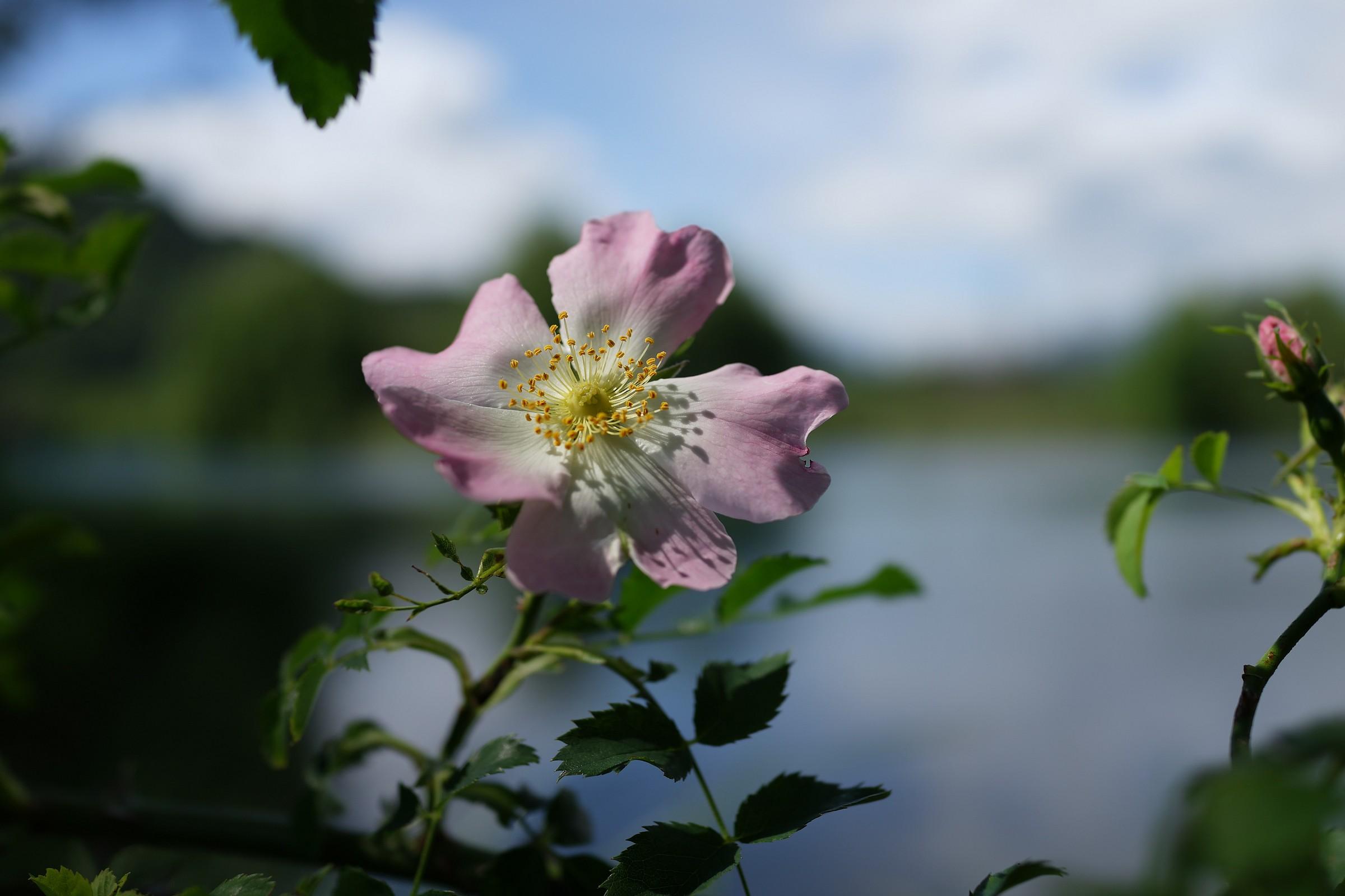 Adda, rose hips...