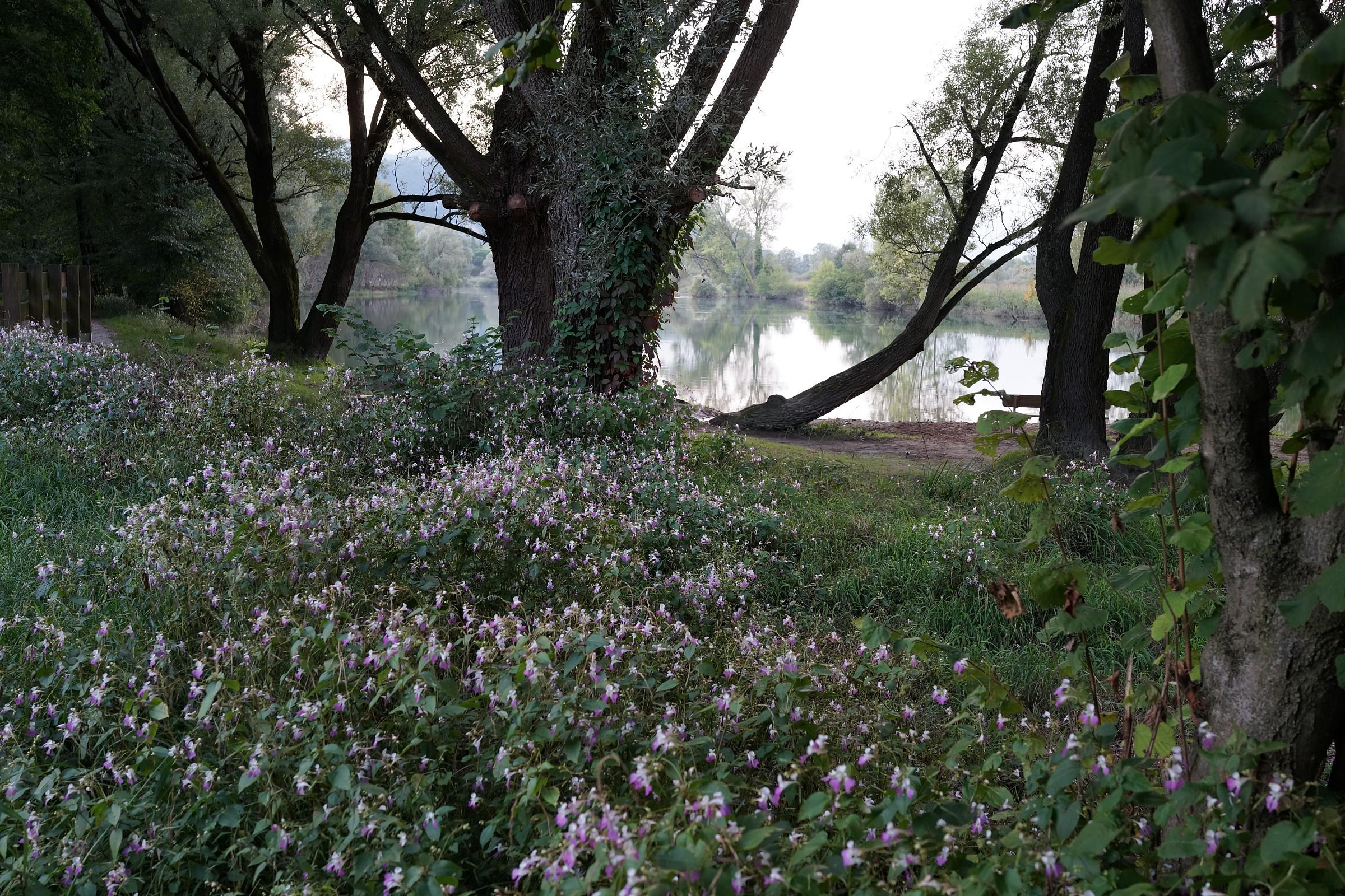 Adda, flowering Impatiens...