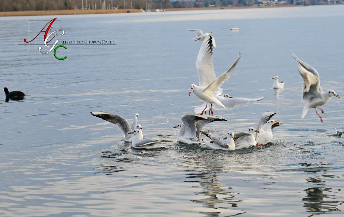Dance of the Seagulls...