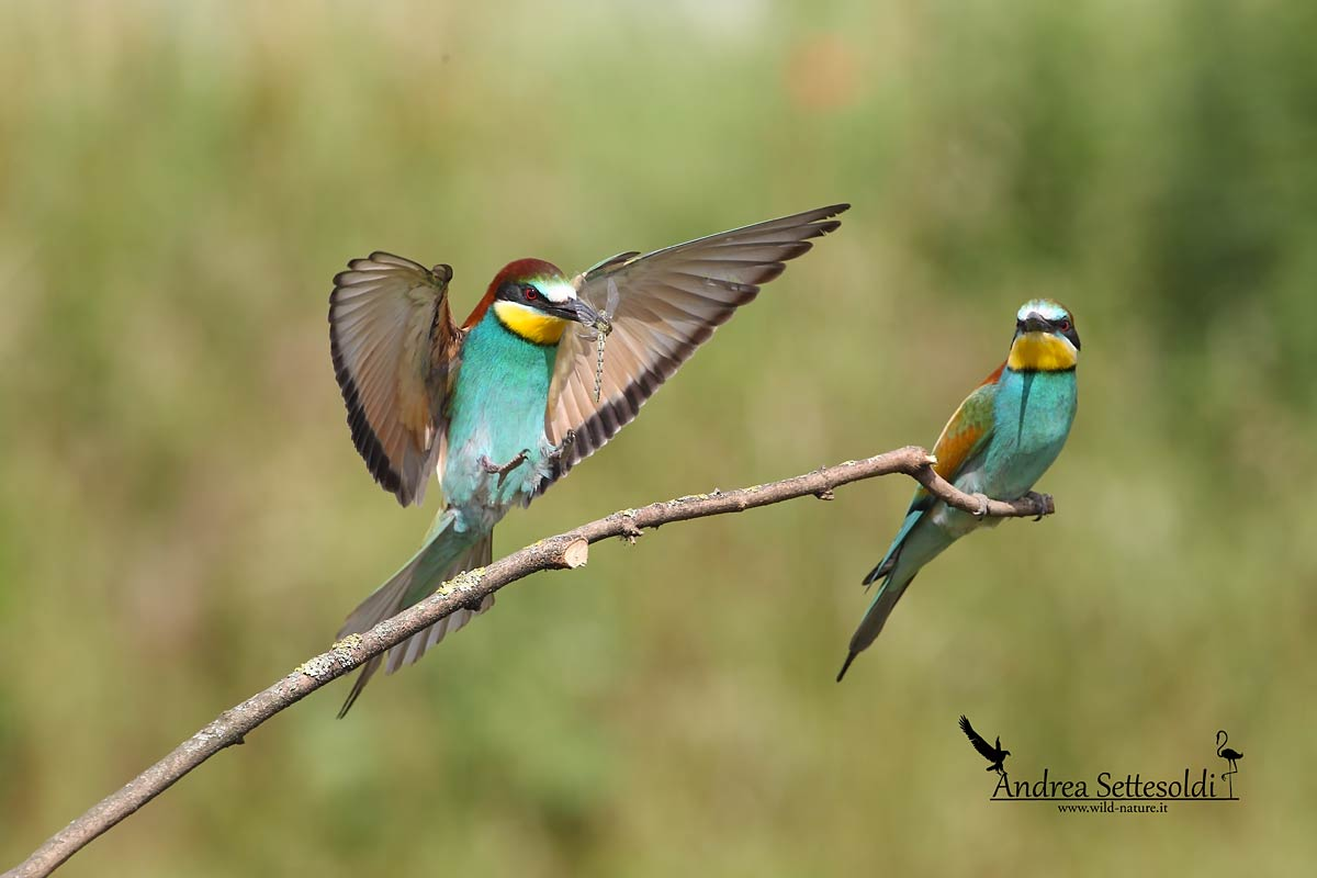 Bee-eater with prey...