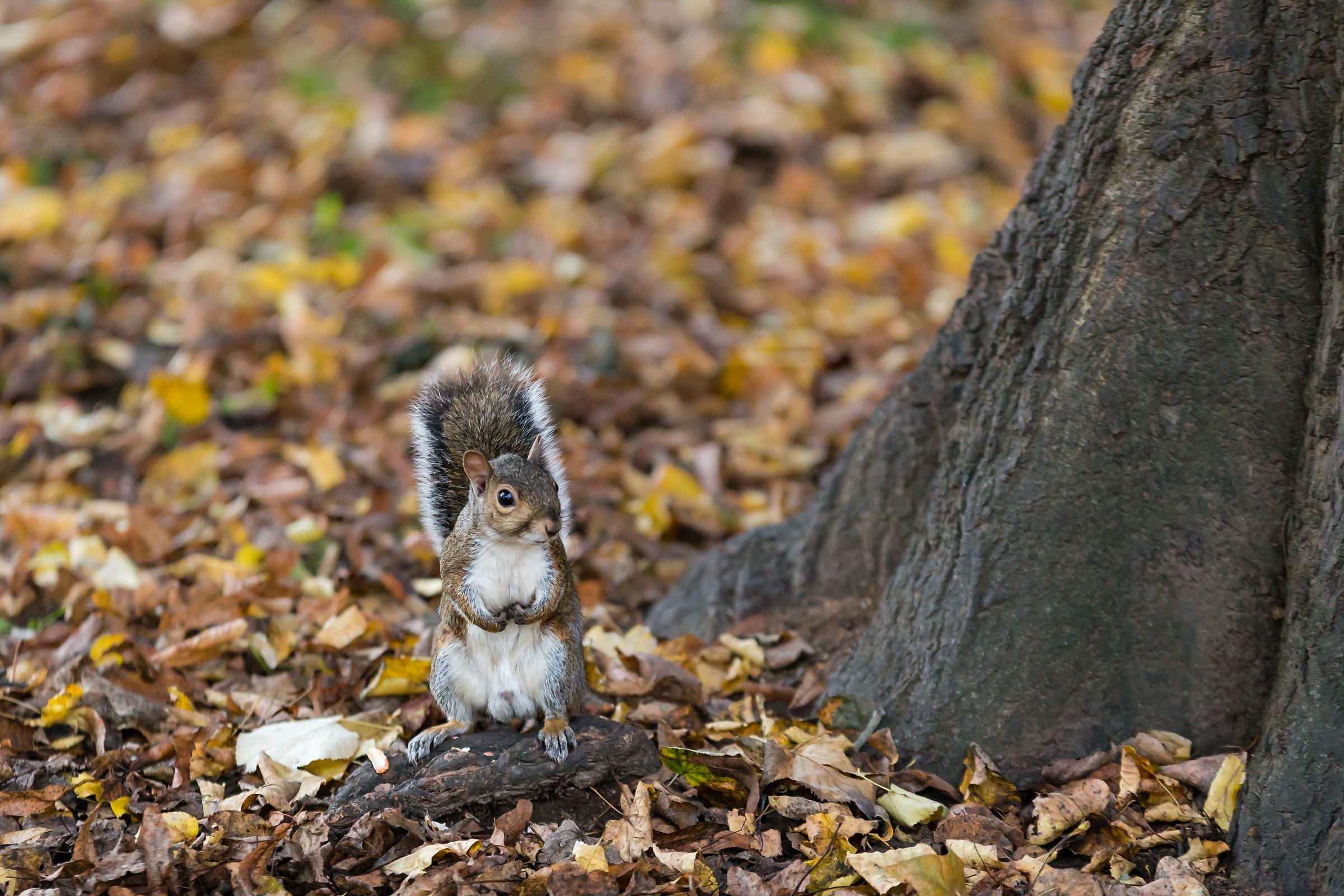 Squirrel in Autumn - Sciurus carolinensis...