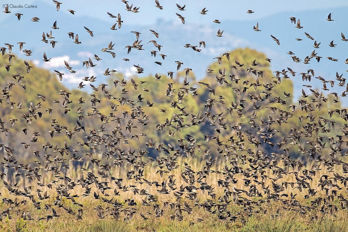 Starlings in flight...