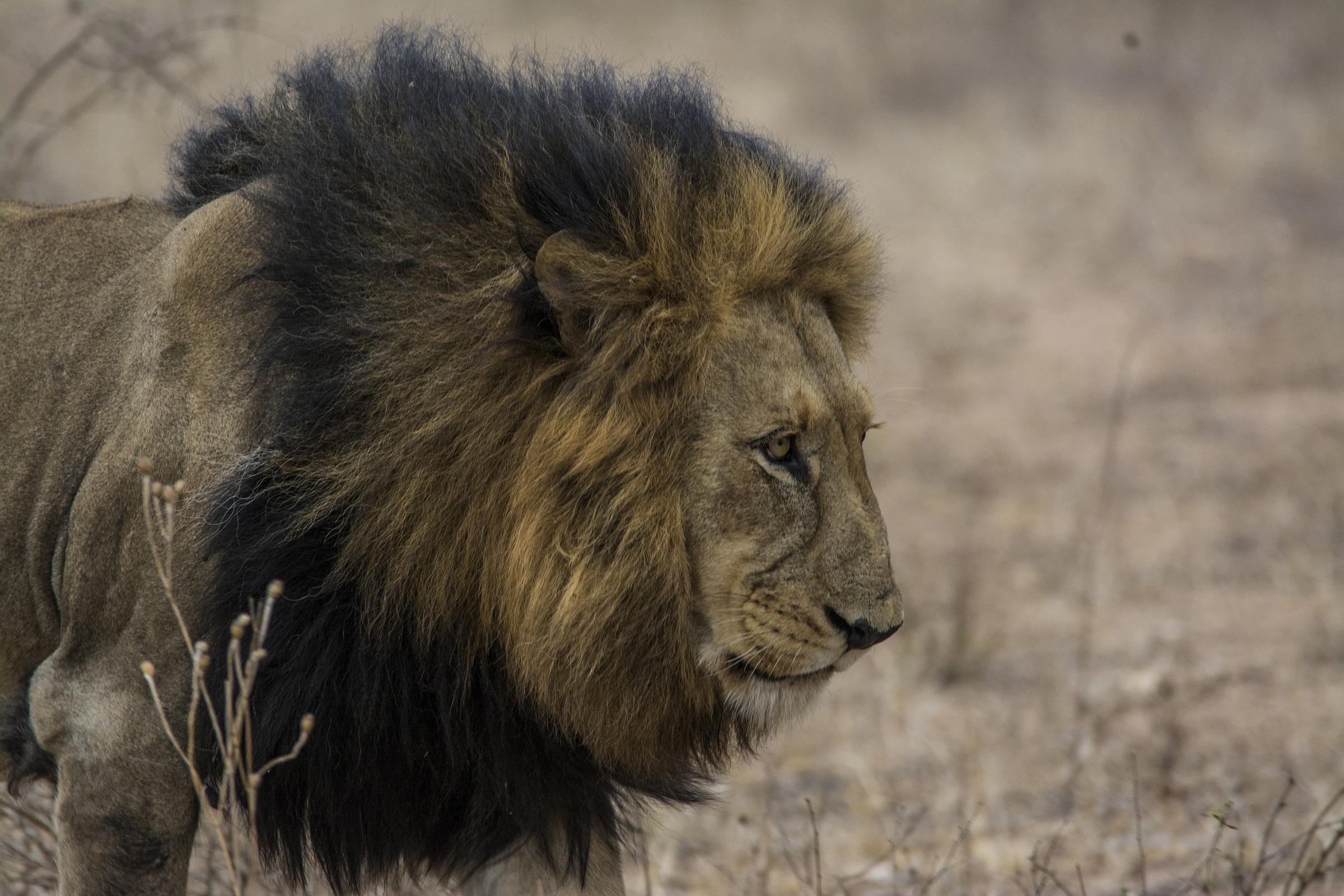 The walking lion...