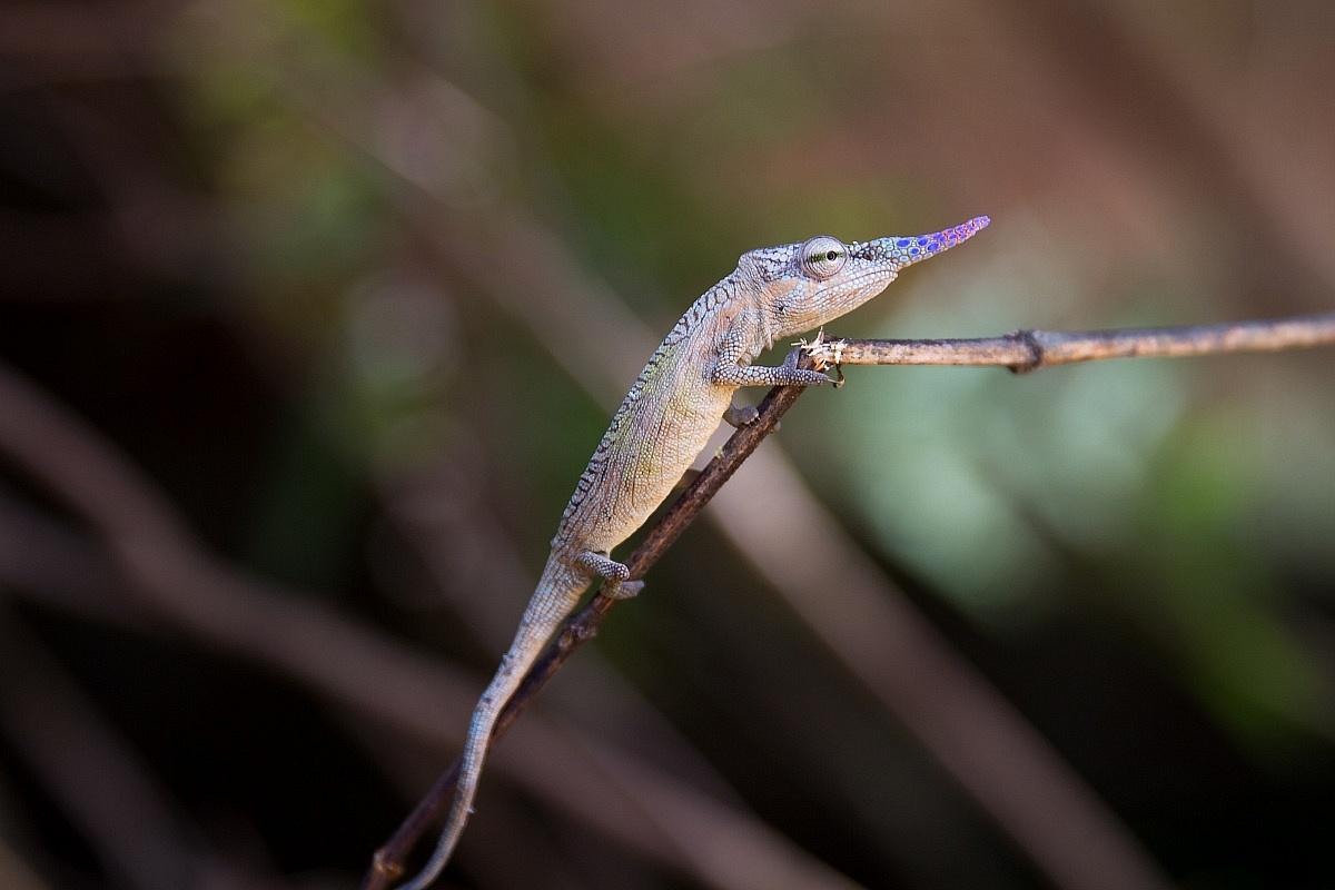 Chameleon pinocchio...