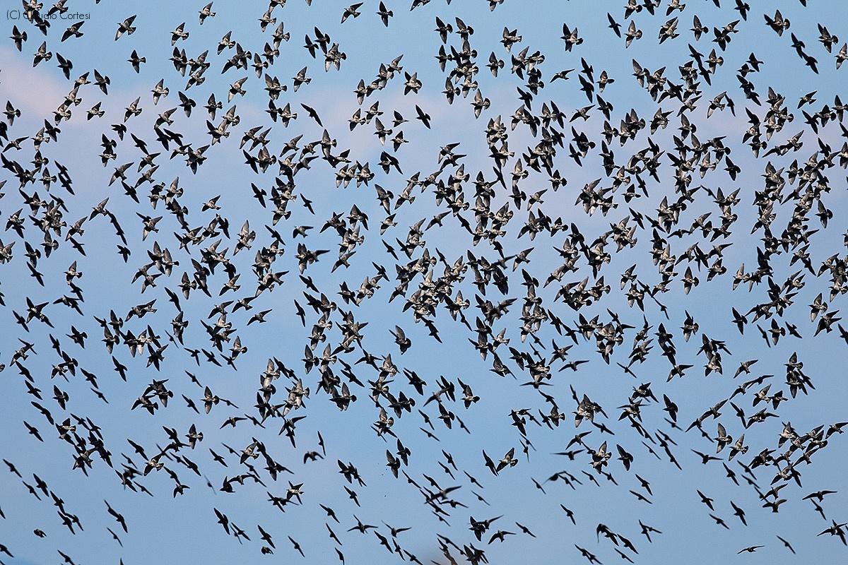 Starlings in maneuver...