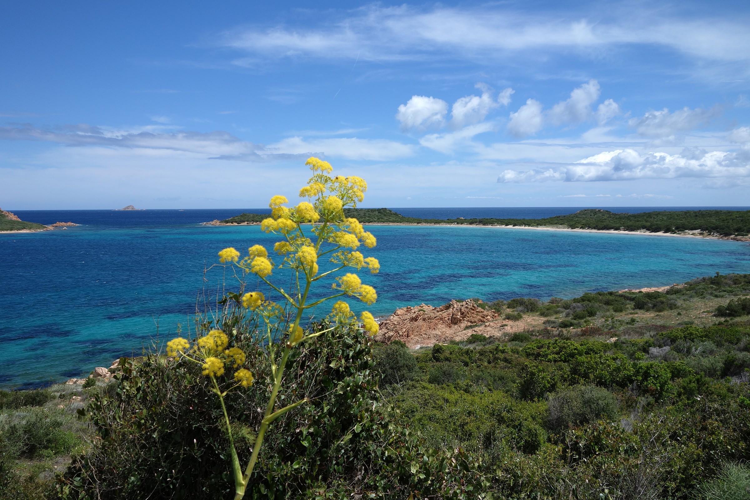 Sardegna, ferula in fiore a Capo Coda Cavallo...