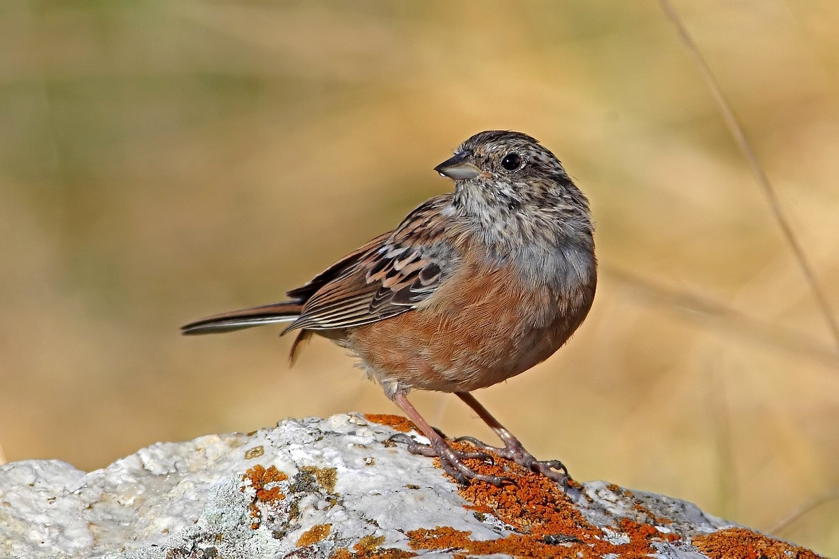 Rock Bunting at sunrise...