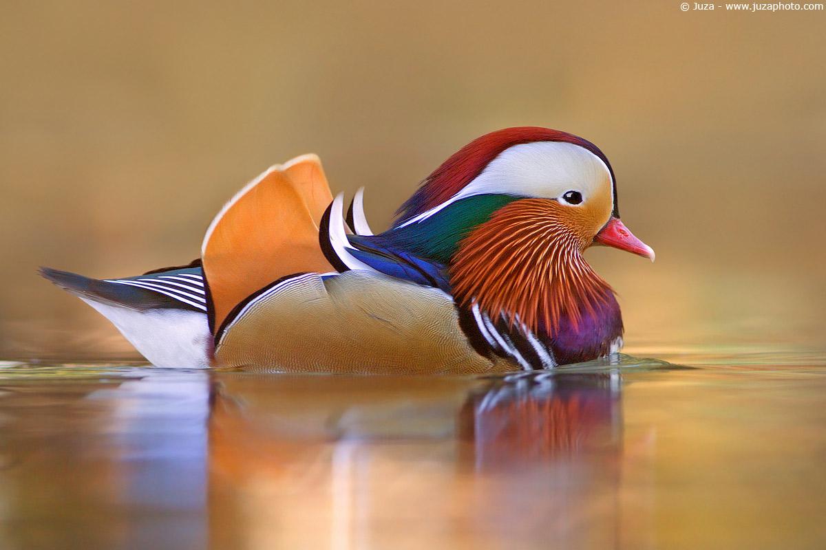 Mandarin duck (Mandarina Duck), 002269...