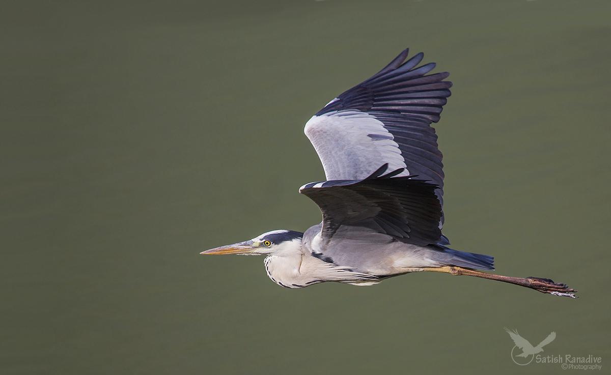 Grey Heron in Flight: another perspective....