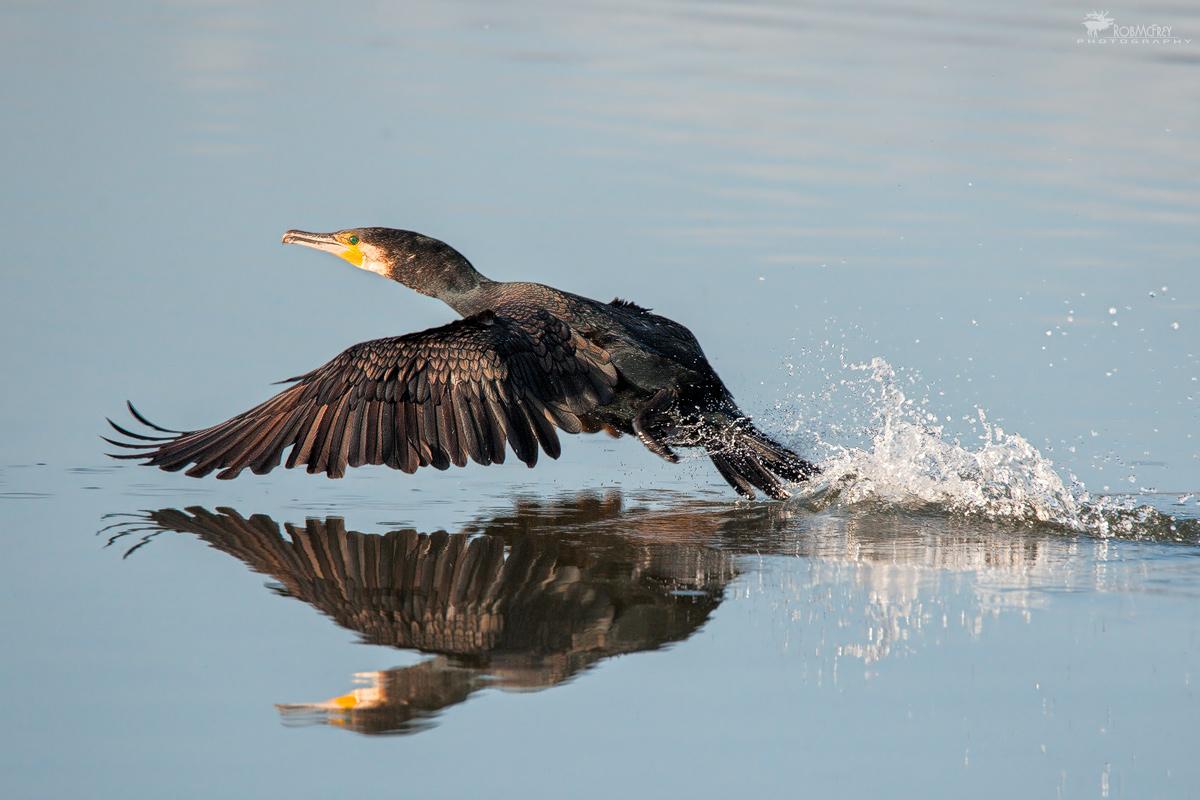 Il decollo del cormorano...