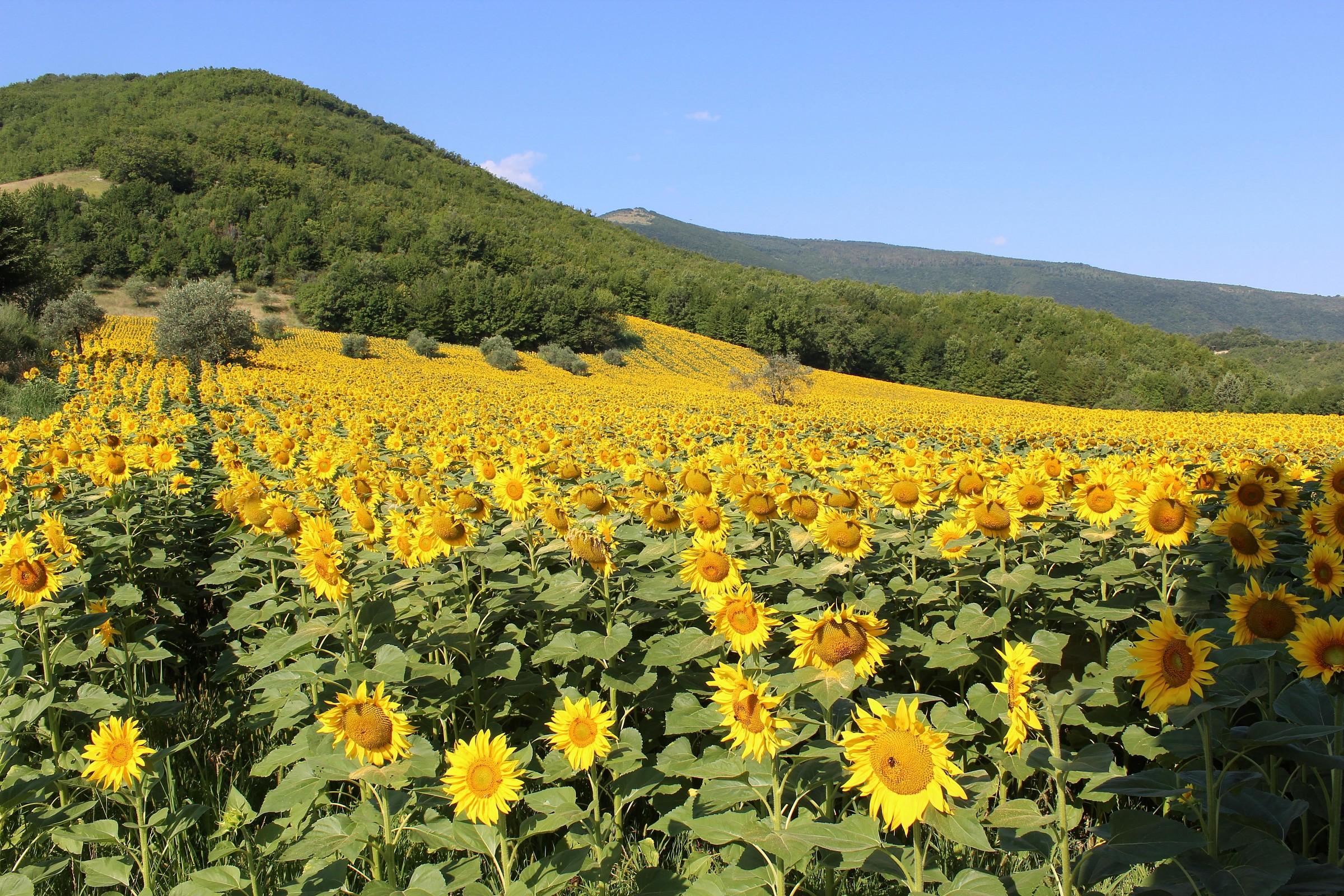 Sunflowers in Caldarola...