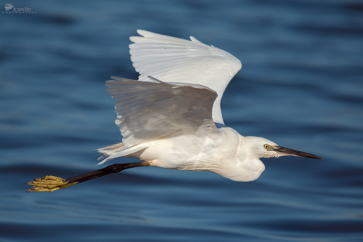 Egret in flight...