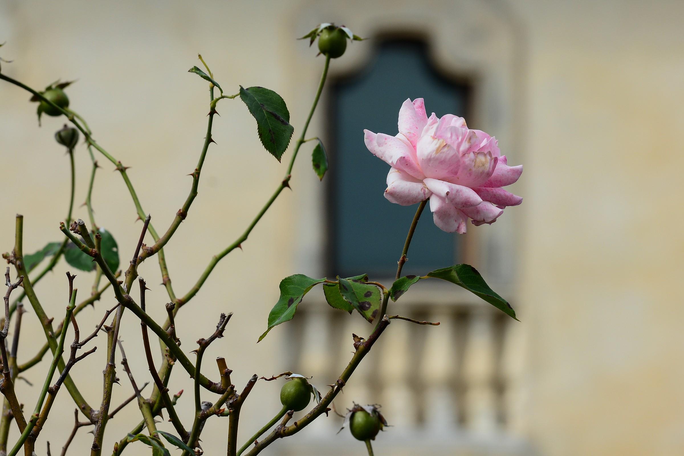 La rosa stanca...