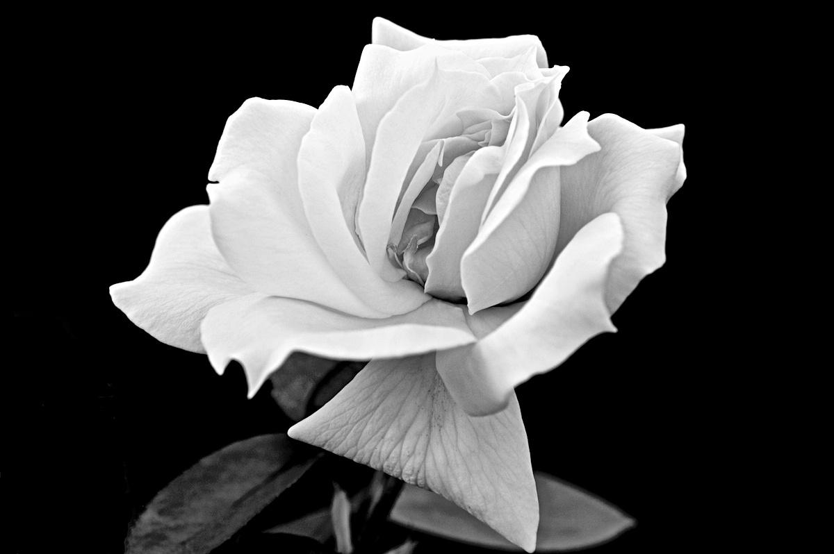 Rosa...