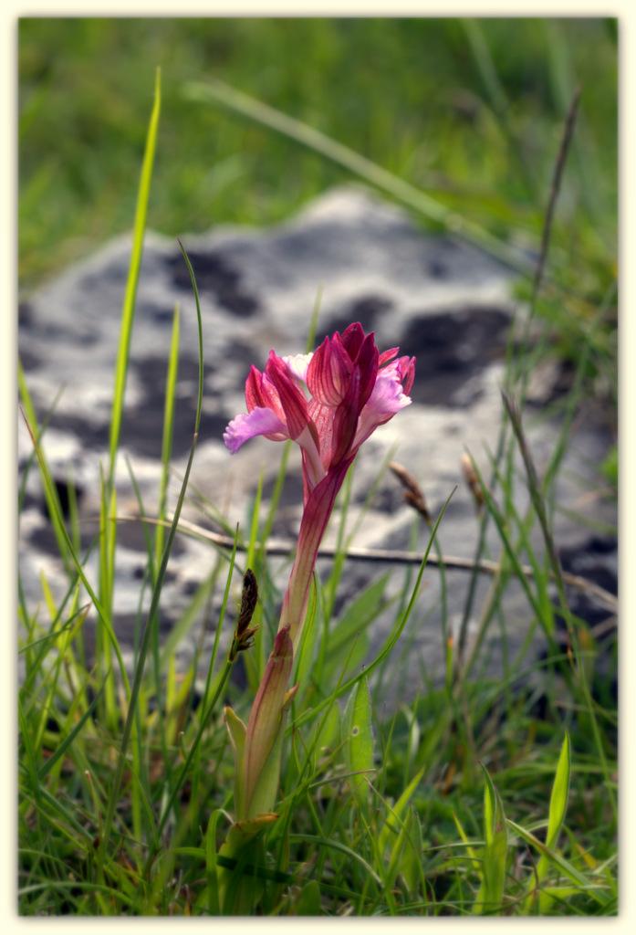 Anacamptis papilionacea - P N Cilento - Italy...