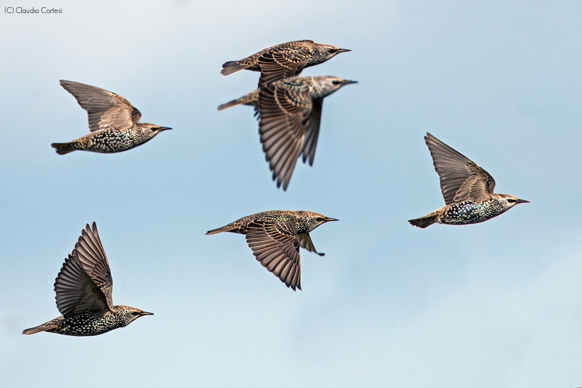 Starlings in flight...