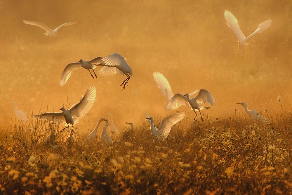 Dance of the Egret...