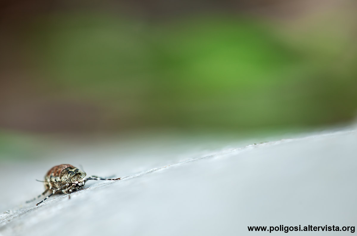 Phigalia pilosaria...