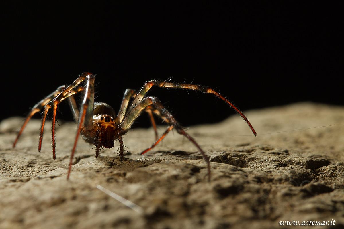 #Arachnida Meta menardi...