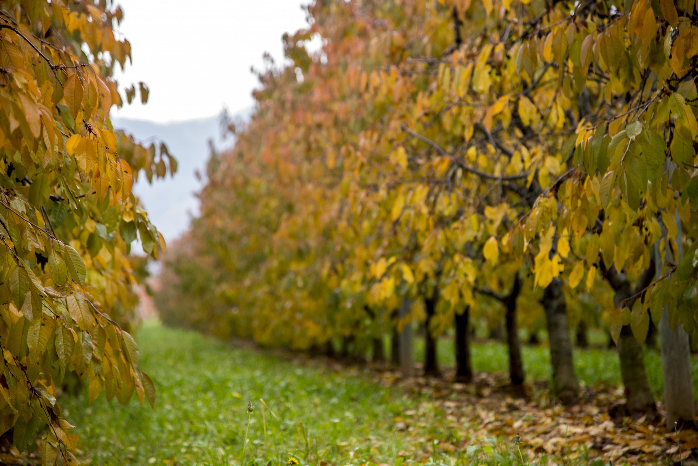 Orchard in autumn...