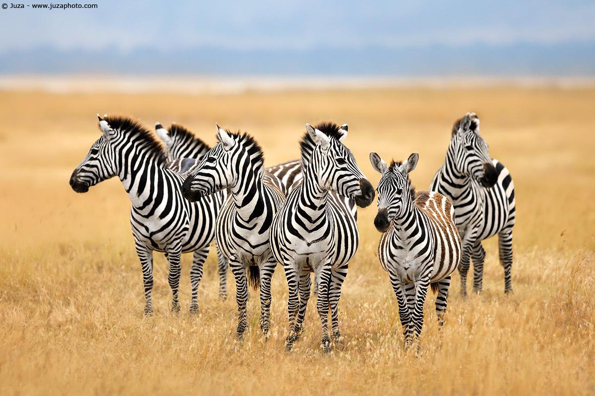 Equus quagga (Zebra), 007905...