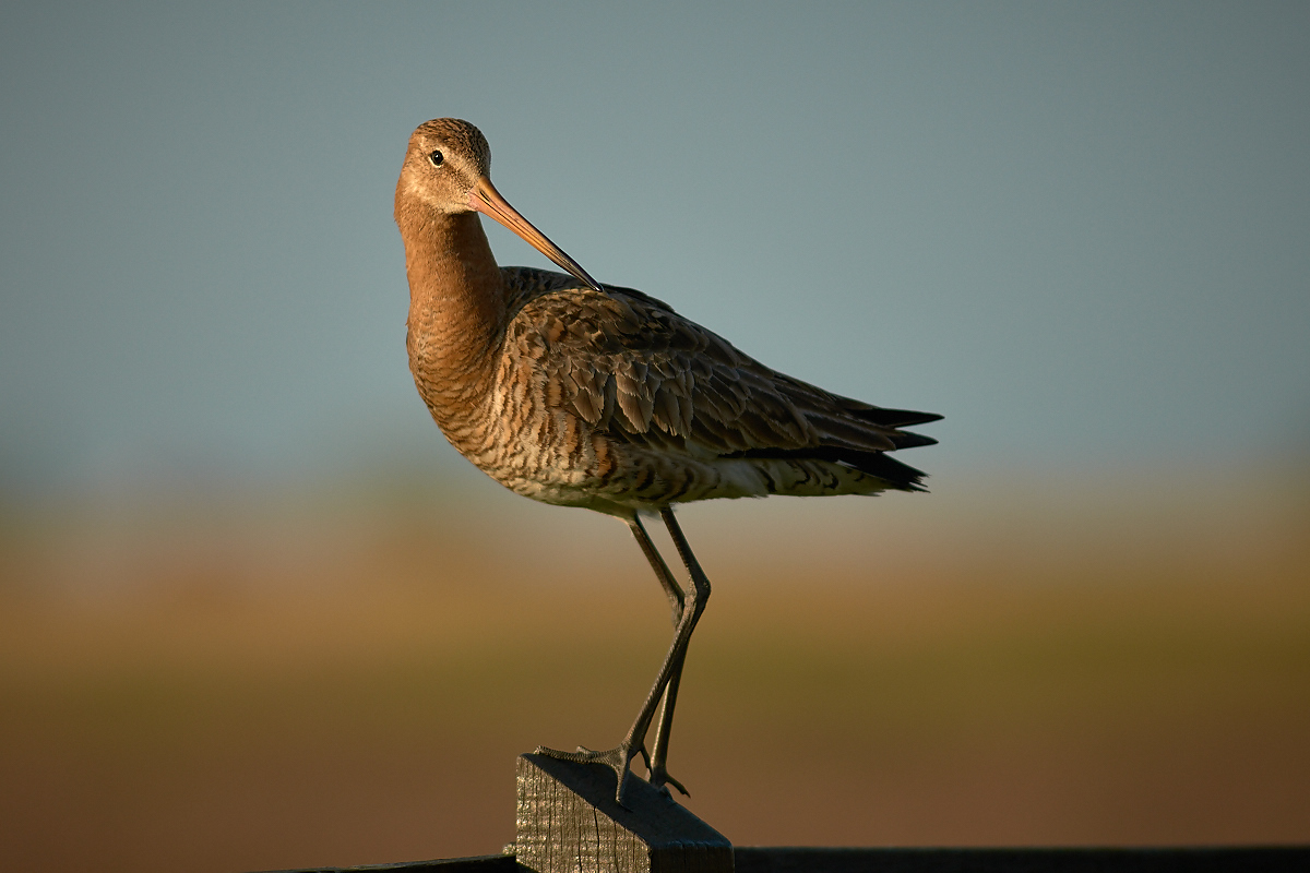 Black-tailed Godwit...