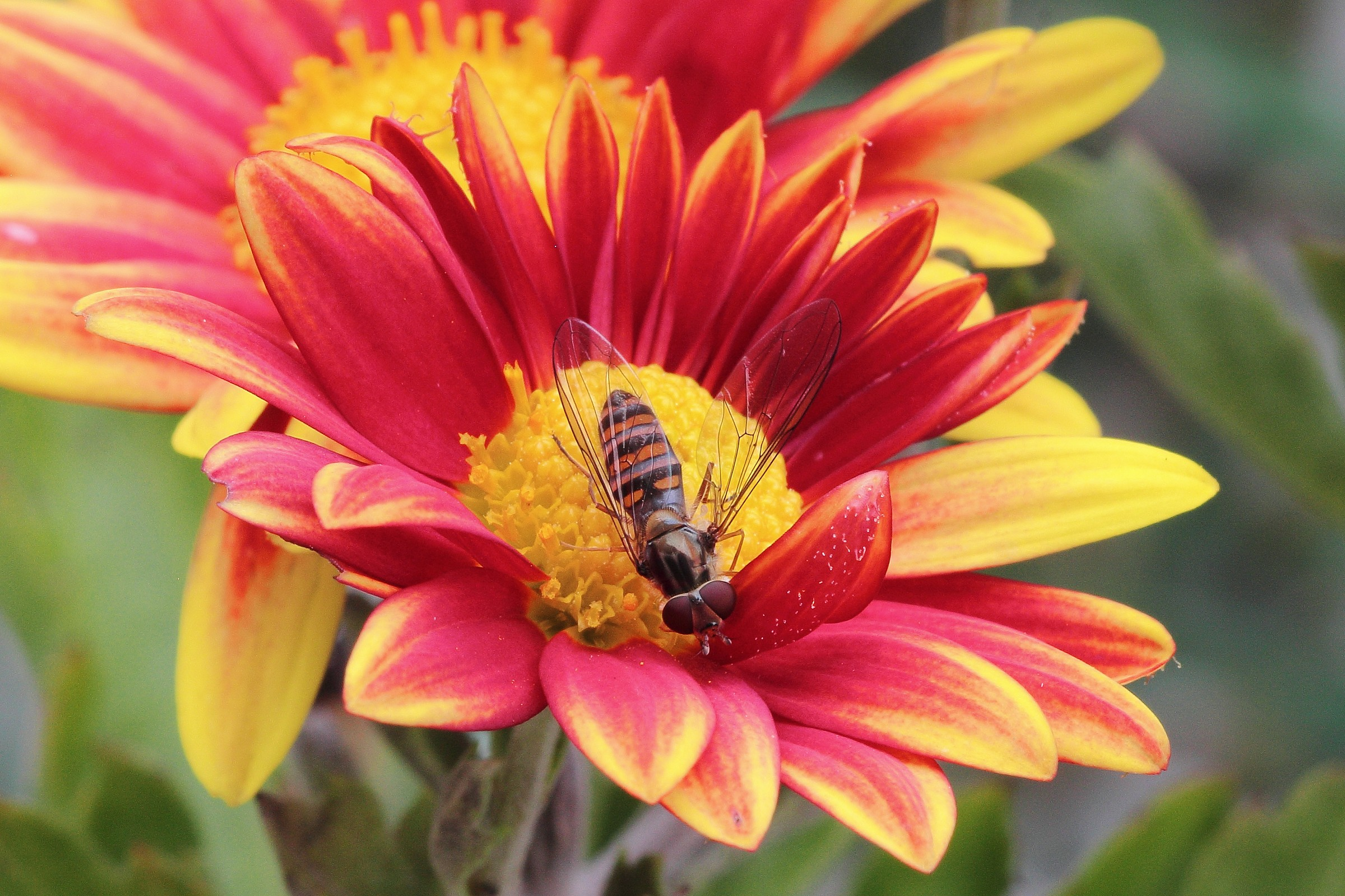Hoverfly on chrysanthemum...