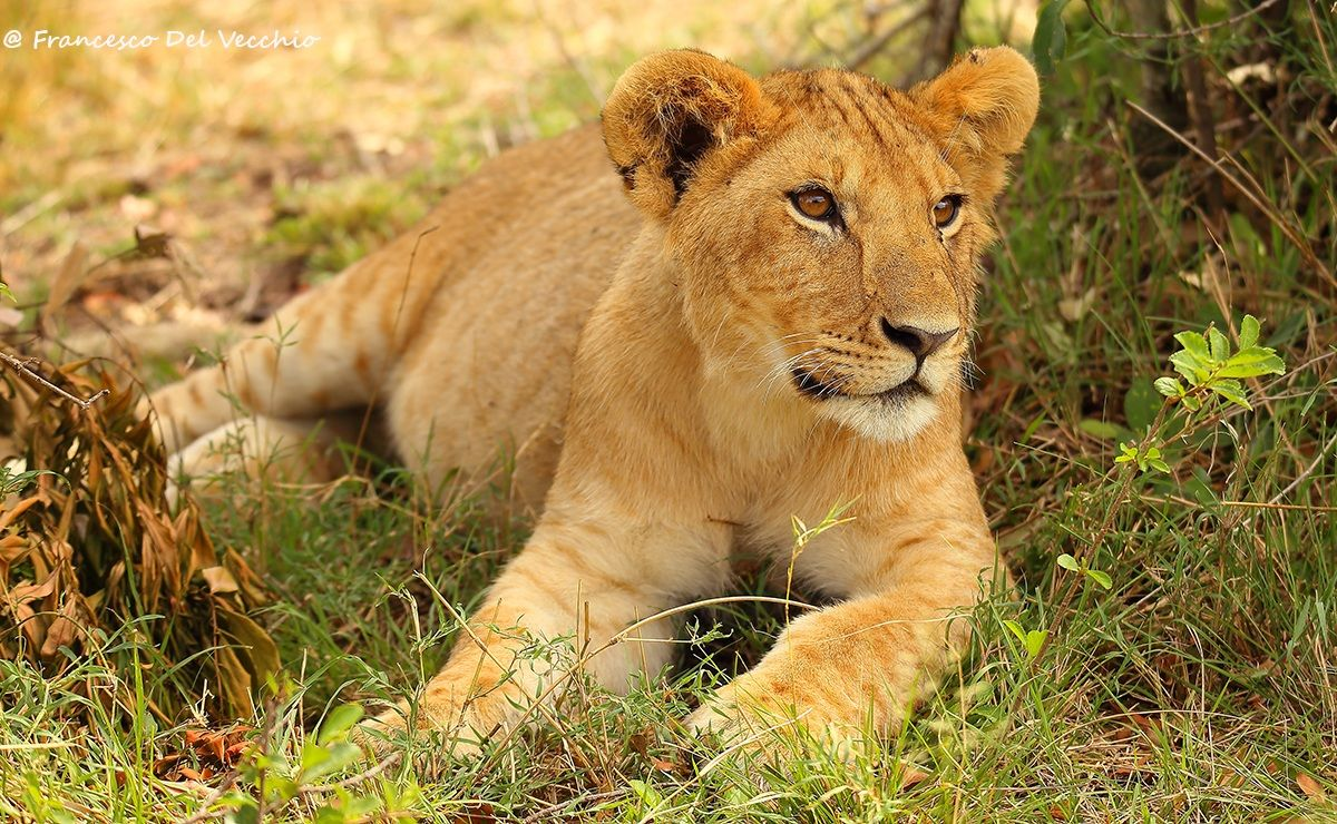 Young group of lions called Rongai Pride...