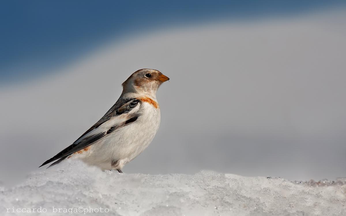 Snow Bunting...